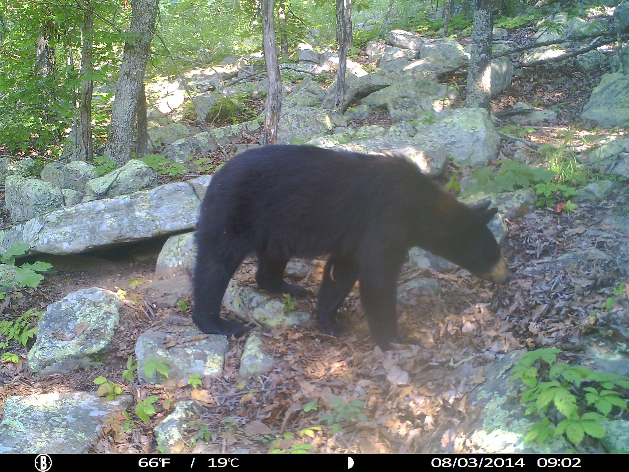 Oklahoma Black Bear