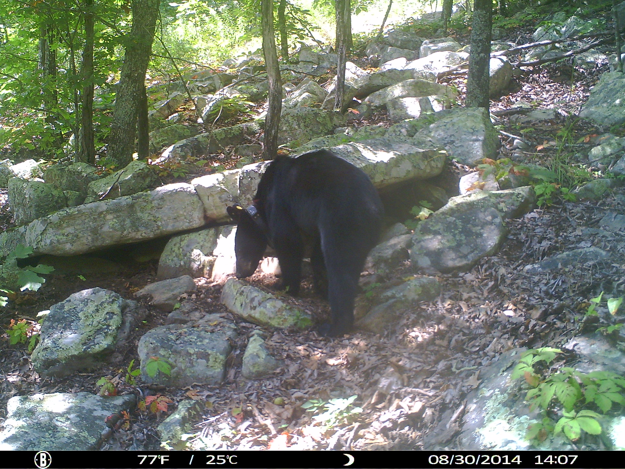 Collared Oklahoma black bear